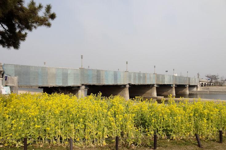 180224武庫川の菜の花2