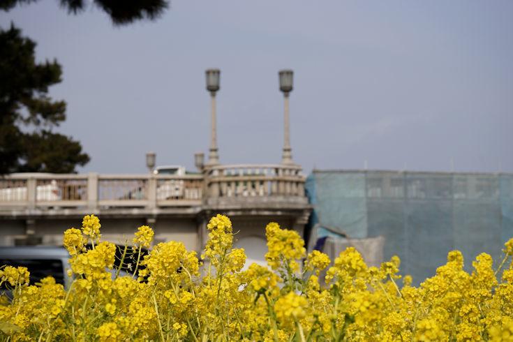 180224武庫川の菜の花4