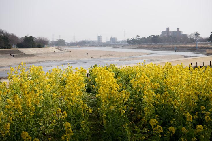 180224武庫川の菜の花5