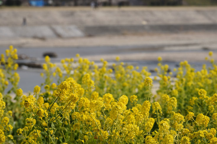 180224武庫川の菜の花6