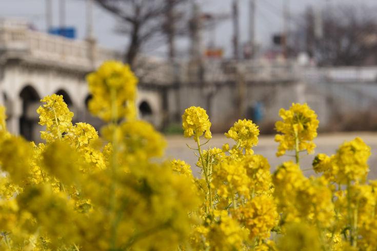 180224武庫川の菜の花7