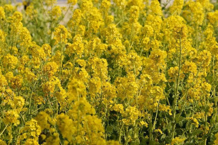 180224武庫川の菜の花8