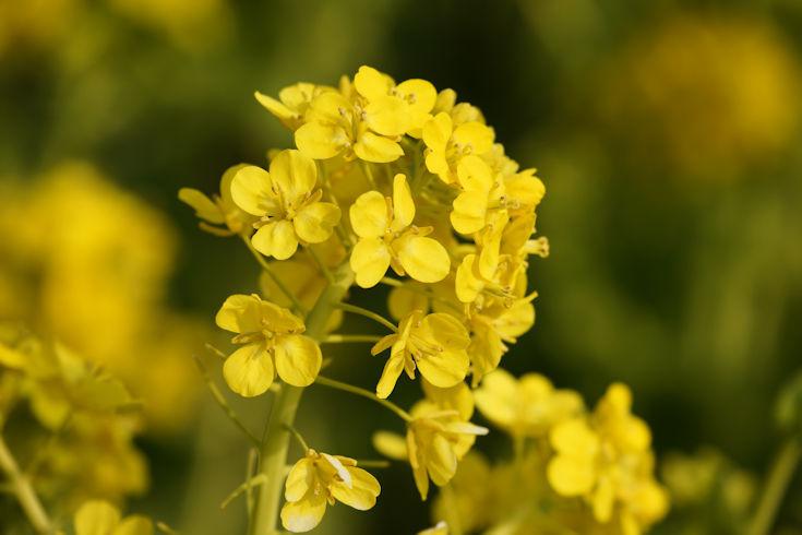 180224武庫川の菜の花9