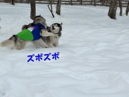 ワフ新雪遊び