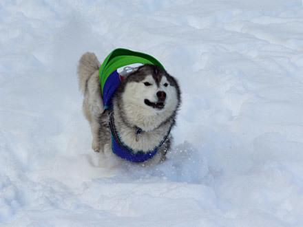 雪の中を泳ぐハスキーズ