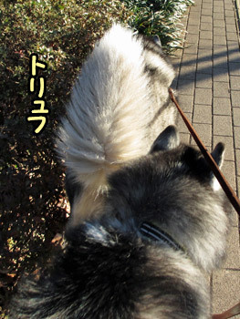 立派な尻尾