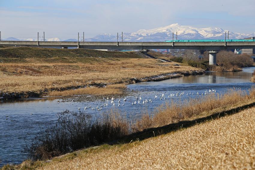 20180120磐井川の白鳥と栗駒山3
