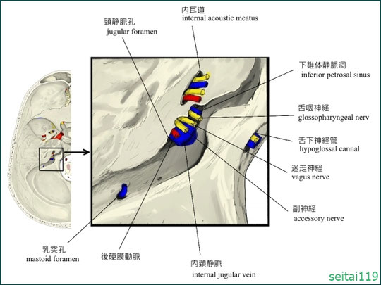 頚静脈孔の圧迫が身体全体に影響を与える