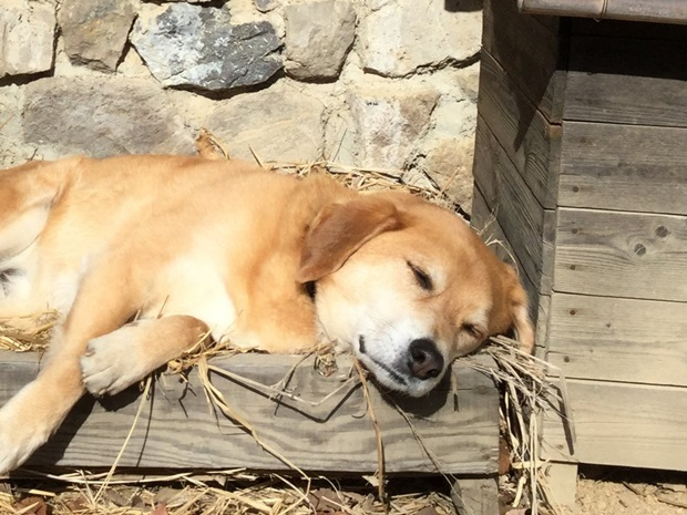 藁の上で寝る犬拡大