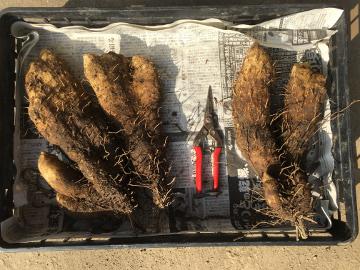 芋類掘り掘り5