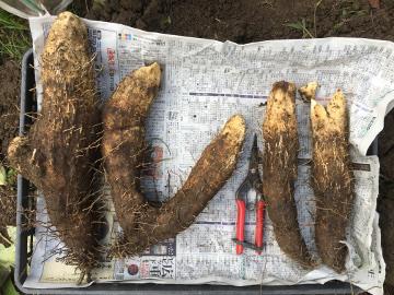 芋類掘り掘り6