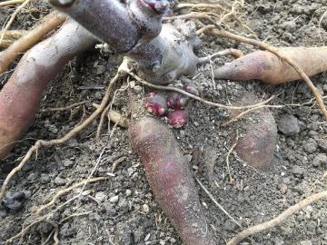 芋類掘り掘り8