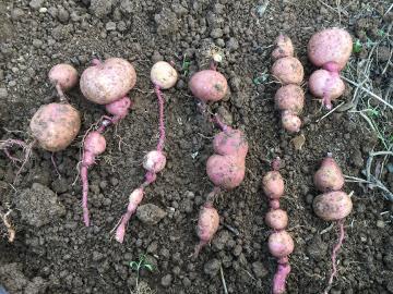 芋類掘り掘り13