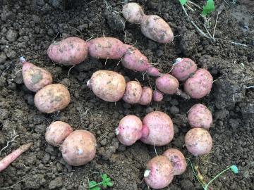芋類掘り掘り14