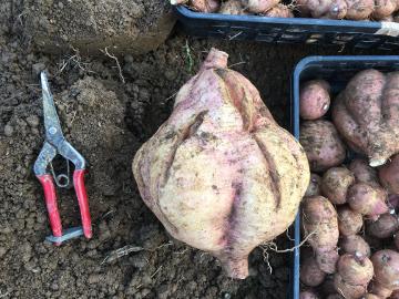 芋類掘り掘り16