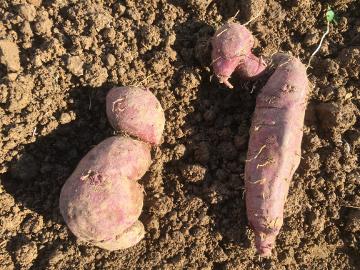 さつま芋掘り終了とジャガイモ掘りの始まり
