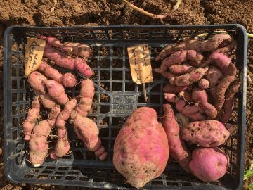 さつま芋掘り終了とジャガイモ掘りの始まり3