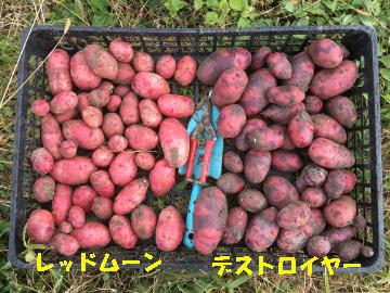 さつま芋掘り終了とジャガイモ掘りの始まり5