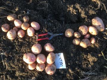 さつま芋掘り終了とジャガイモ掘りの始まり9
