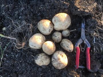 さつま芋掘り終了とジャガイモ掘りの始まり10