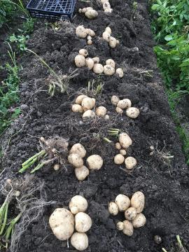 じゃが芋収穫順調9