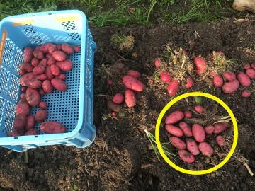 じゃが芋収穫順調12