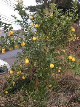 レモンやパール柑が黄色に