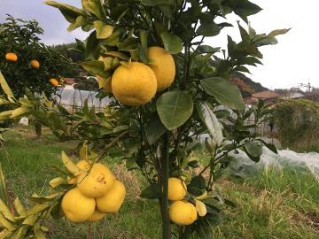 レモンやパール柑が黄色に4
