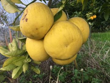 レモンやパール柑が黄色に6