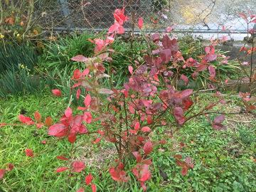 ブルーベリー紅葉2