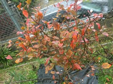 ブルーベリー紅葉3