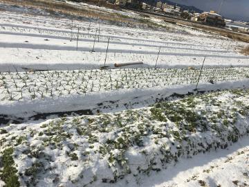 雪の農園11