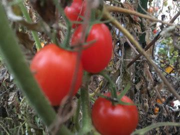 ハウスのトマト限界に