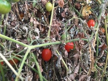 ハウスのトマト限界に4