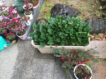 コールバビ鉢植えが6