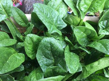 コールバビ鉢植えが7
