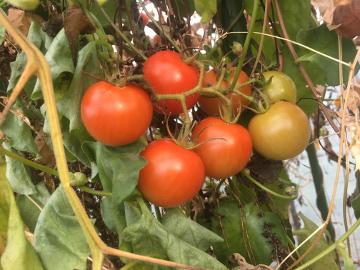 トマト限界6