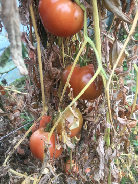 トマト限界7