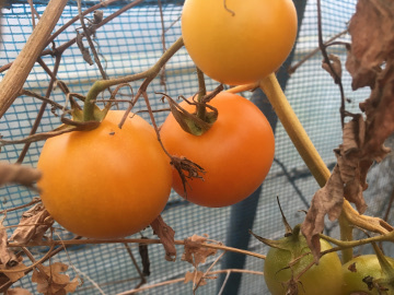トマト限界8