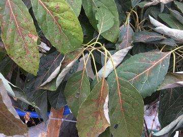 アボカドの葉が!6