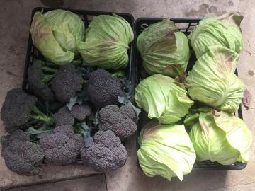 朝市野菜の準備5