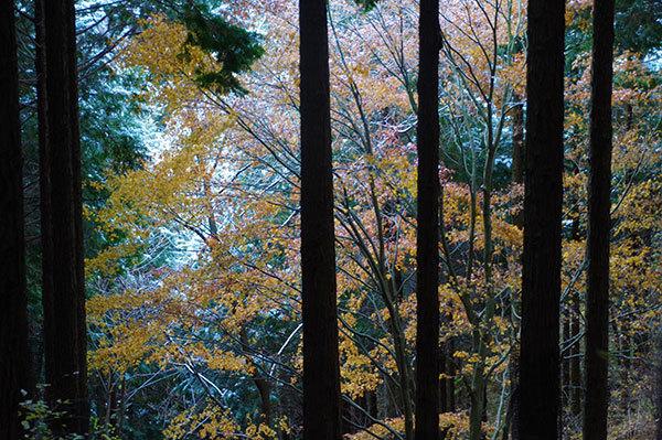 丹沢山登山道の黄葉