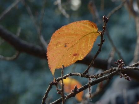 椿寒桜の紅葉
