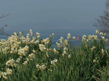 大角海浜公園 水仙 5