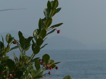大角海浜公園 マサキの実 3