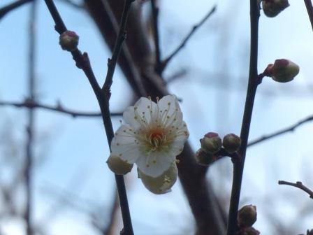 庭の白梅 1