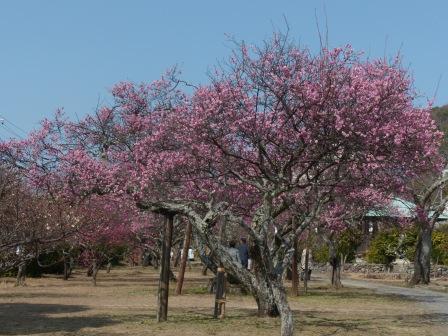梅津寺公園 梅 4
