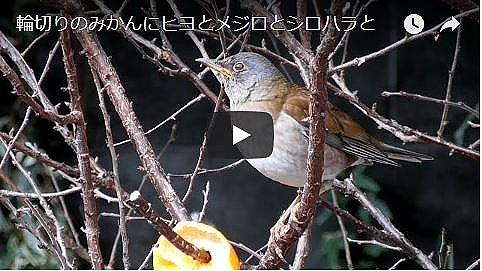 野鳥の動画