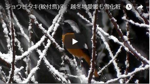 ジョウビタキと雪