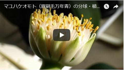 マユハケオモトの分球